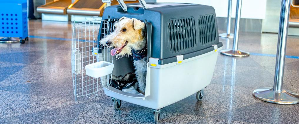 Happy looking dog inside a sky kennel with its head sticking out of open crate door.